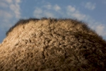 Hair covers a camel's hump in Pushkar.