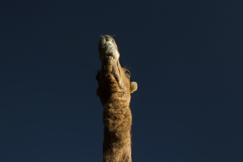 A camel stands in the desert in Pushkar.