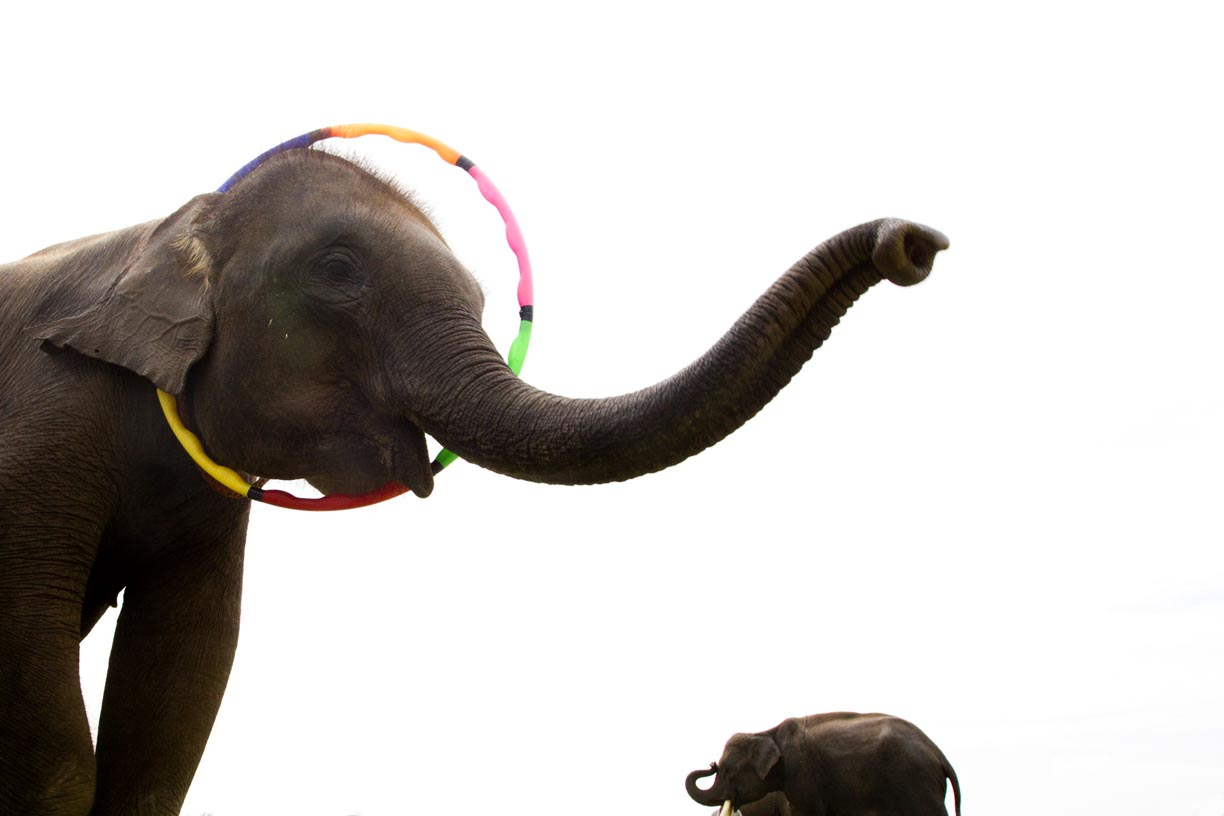 An elephant performs tricks at the Surin Elephant Roundup.