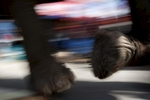 An elephant walks down a street during a parade in Surin.