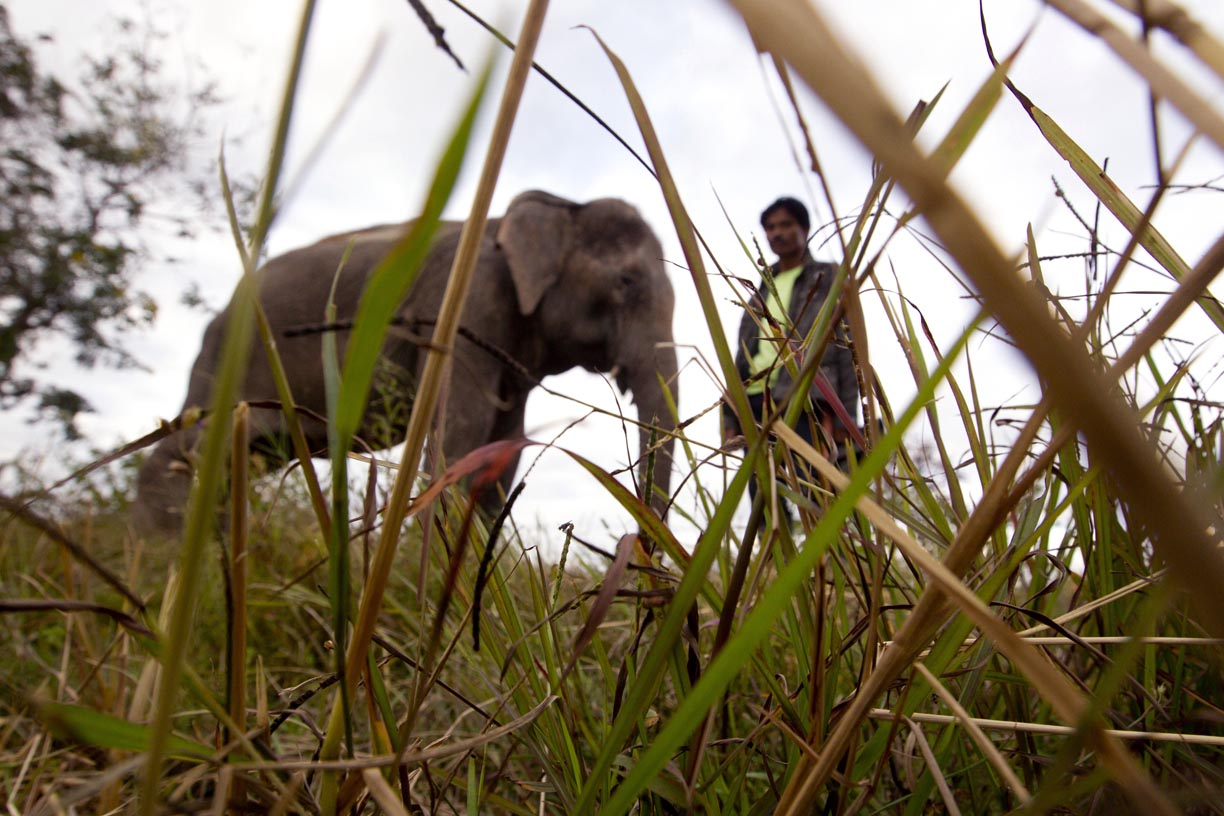 An elephant smuggler stands with his elephant in Surin during the Surin Elephant roundup.