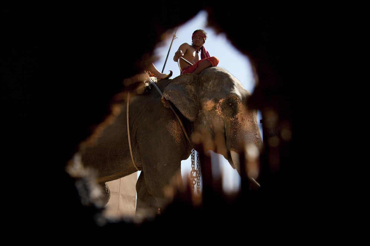 A mahout and his elephant make their entrance during the Surin Elephant Roundup.