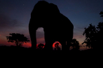 An elephant grazes at a mahout camp during the Surin Elephant Roundup.