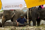 Elephants eat sugarcane during a parade at the Surin Elephant Roundup.