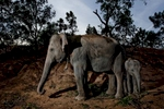 Elephants graze at a mahout camp during the Surin Elephant Roundup.