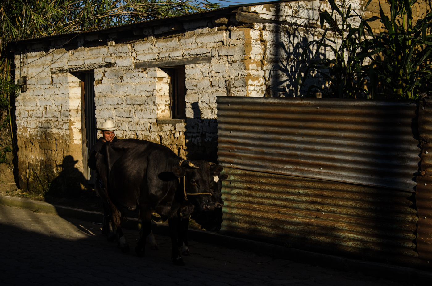 A man drives his cattle through town and into the morning sun.