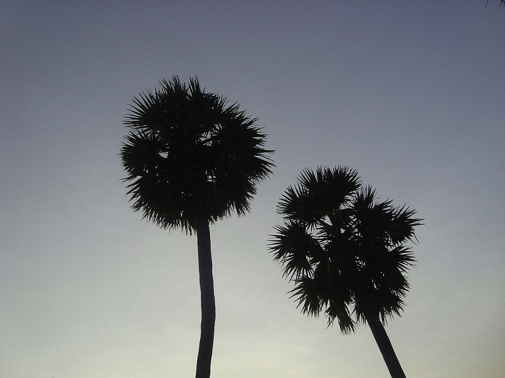 Palm Trees on Chinnasalem Lake Shore,Villupuram District