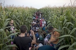 refugees from syria hide in a corn field meters away from serbia's border with hungary, horgos, serbia, august 11, 2015.