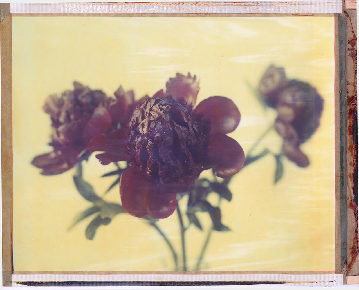 Flower study - 8x10 Polaroid