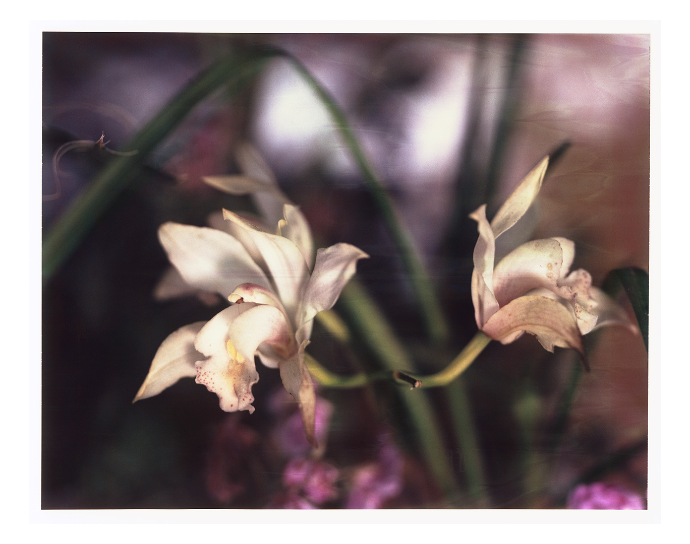 Orchid photographed 2005 - Polaroid 8x10