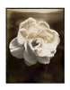 Polaroid_Rose_NeonWeb_pola_Sepia