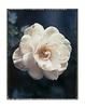 Polaroid_Rose_NeonWeb_pola_White