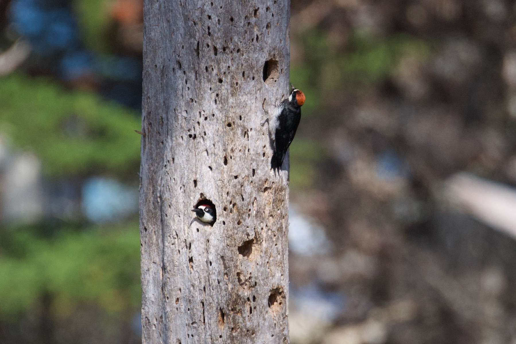 Acorn-Woodpecker-3