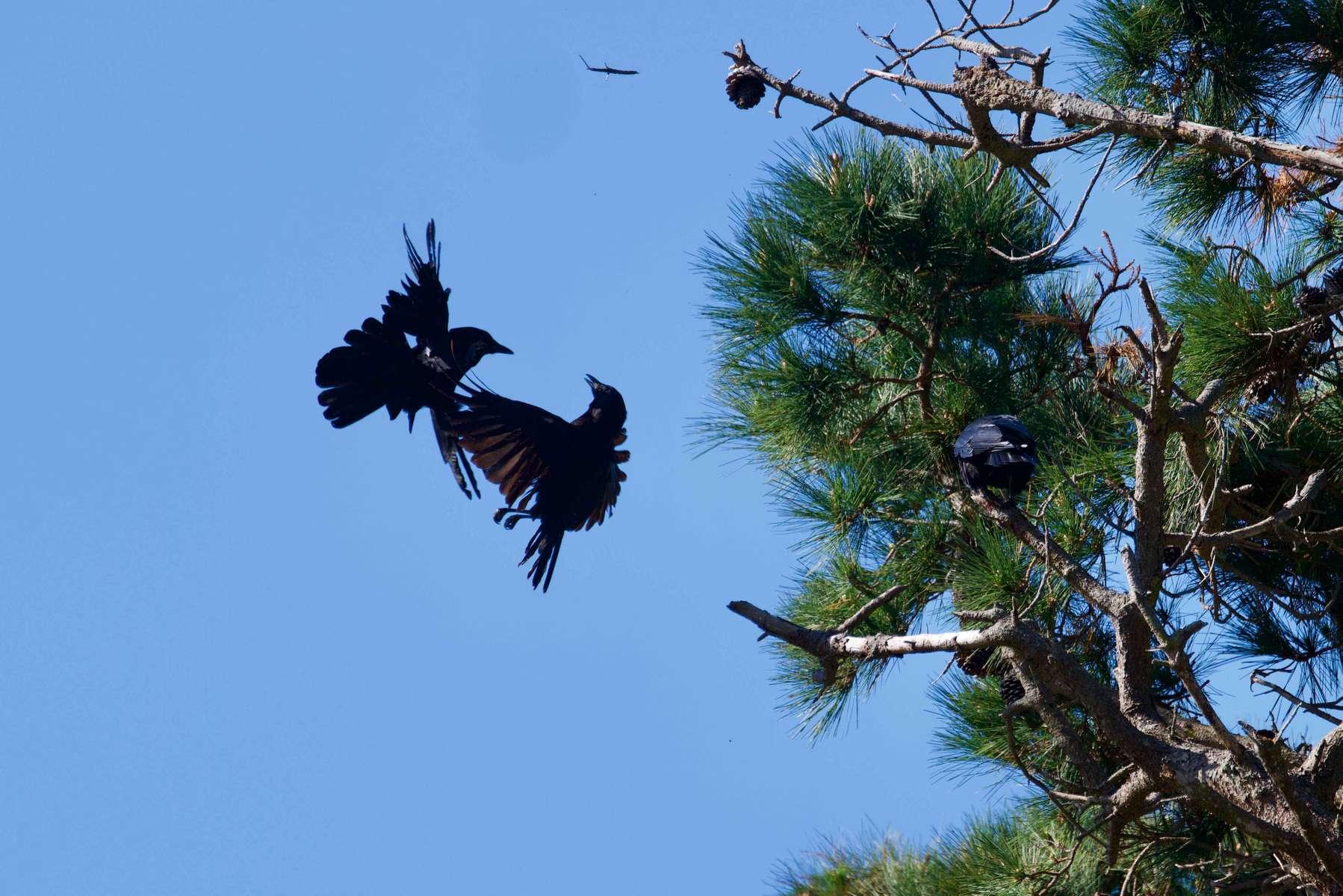 American-Crow-2