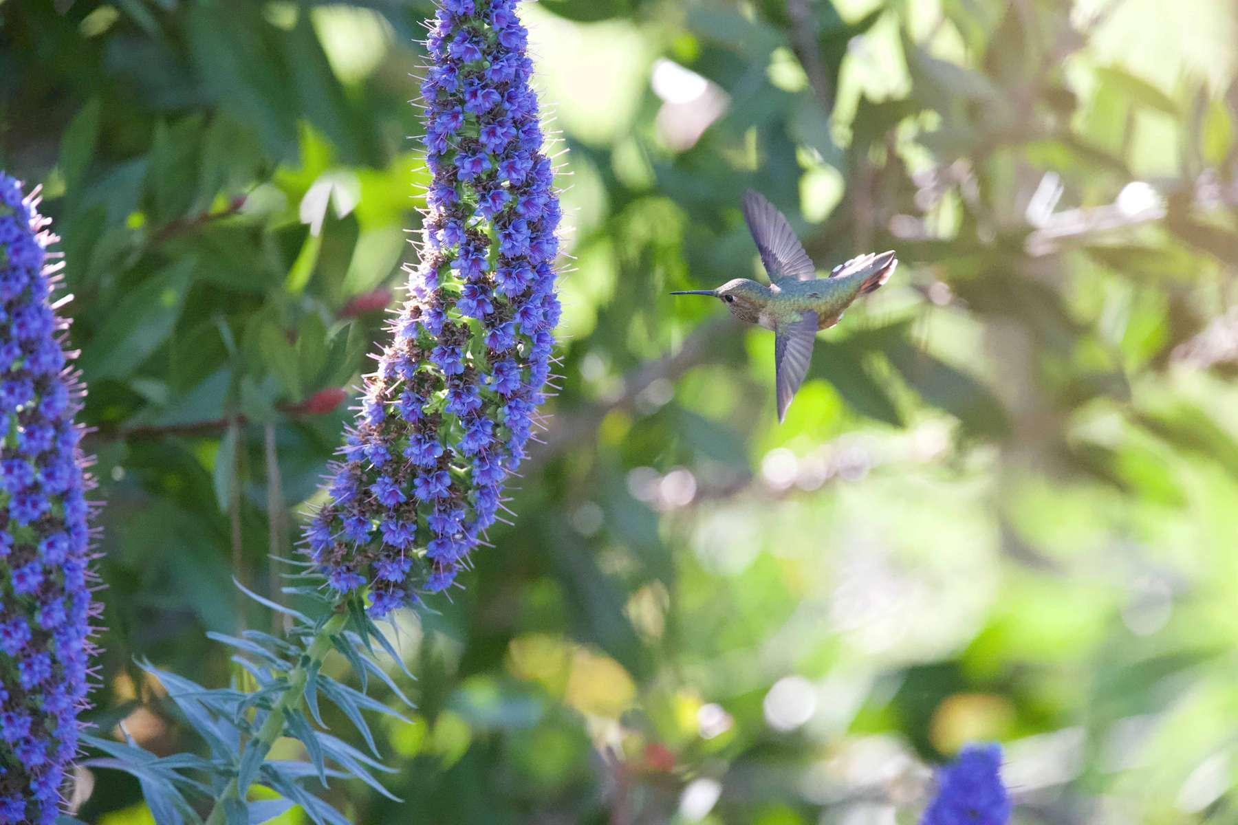 Anna-s-Hummingbird-1