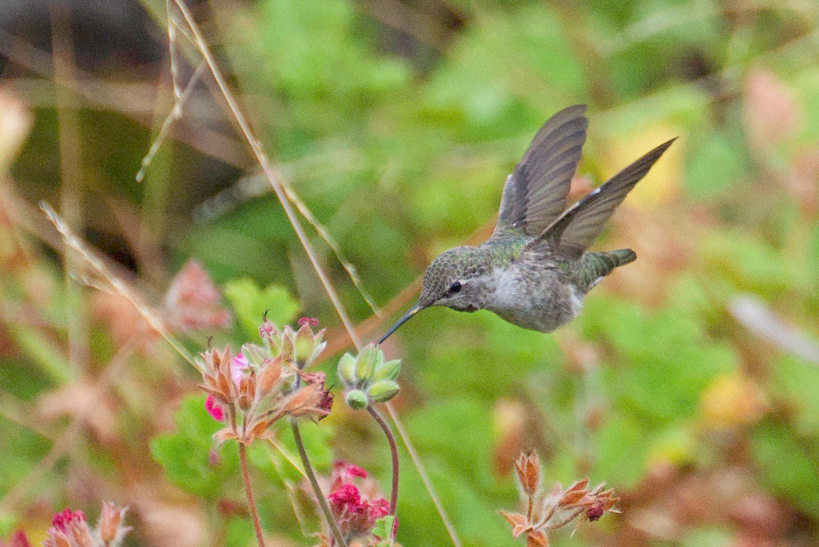 Anna-s-Hummingbird