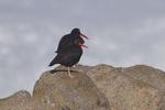 Black-Oystercatcher-1
