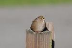Golden-Crowned-Sparrow-1