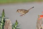 Golden-Crowned-Sparrow-2