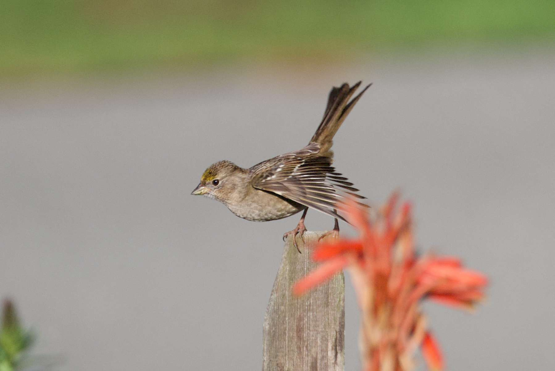 Golden-Crowned-Sparrow-3