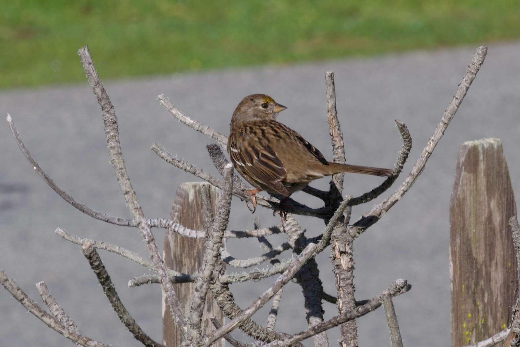 Golden-Crowned-Sparrow-4