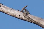 Pygmy-Nuthatch-1