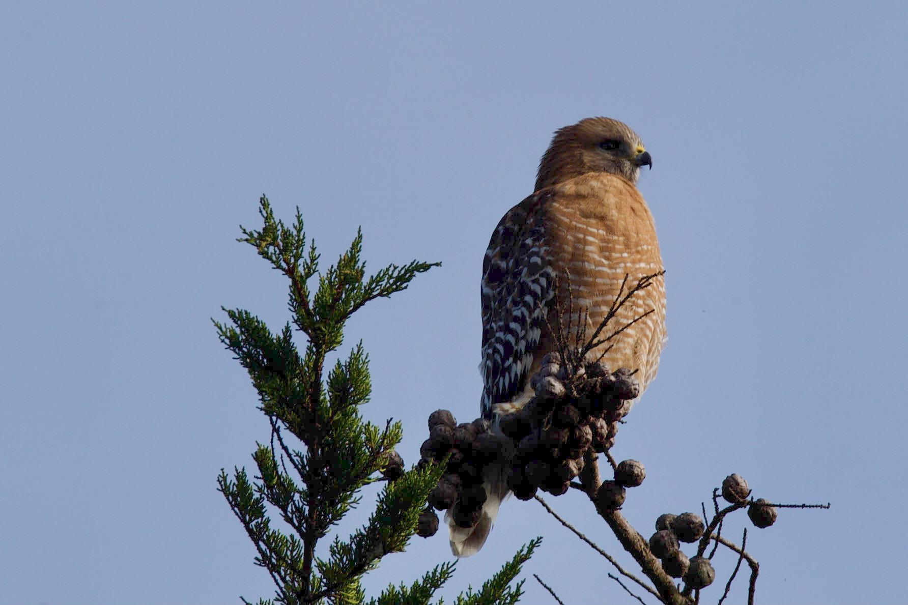 Red-Shouldered-Hawk-10