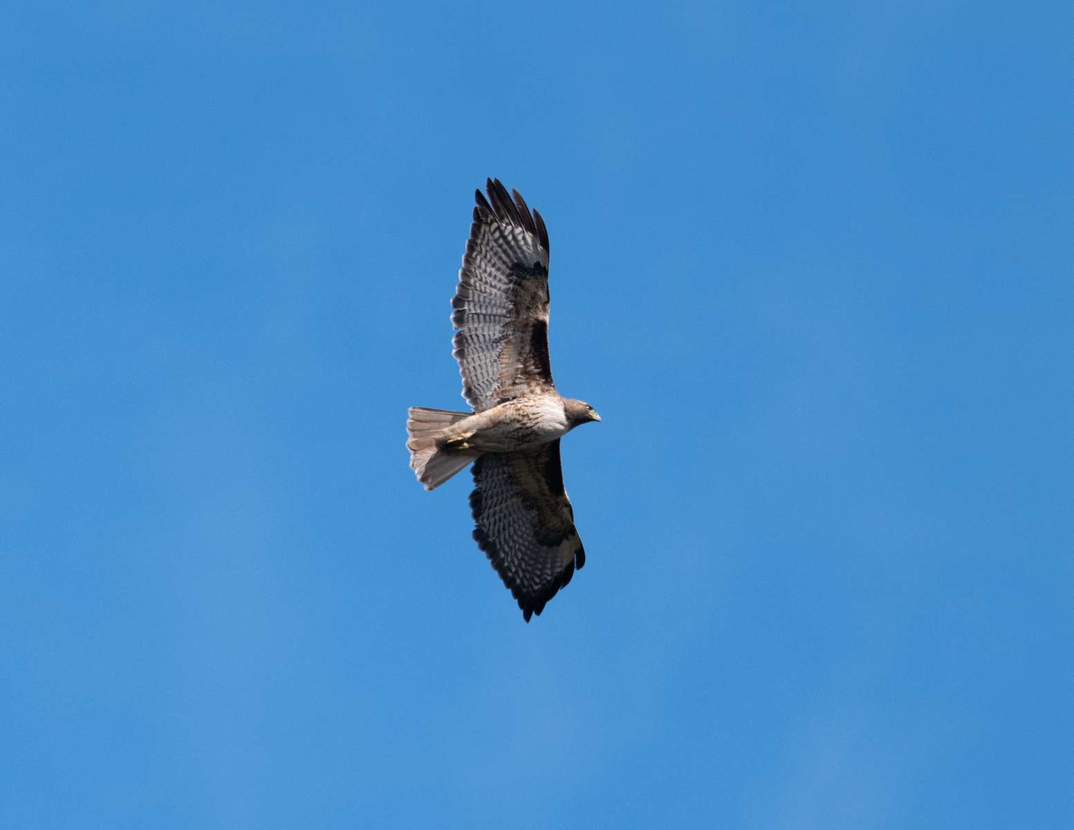 Red-Tailed-Hawk-1
