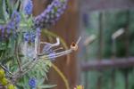 Rufous-Hummingbird-2