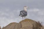 Slaty-Backed-Gull