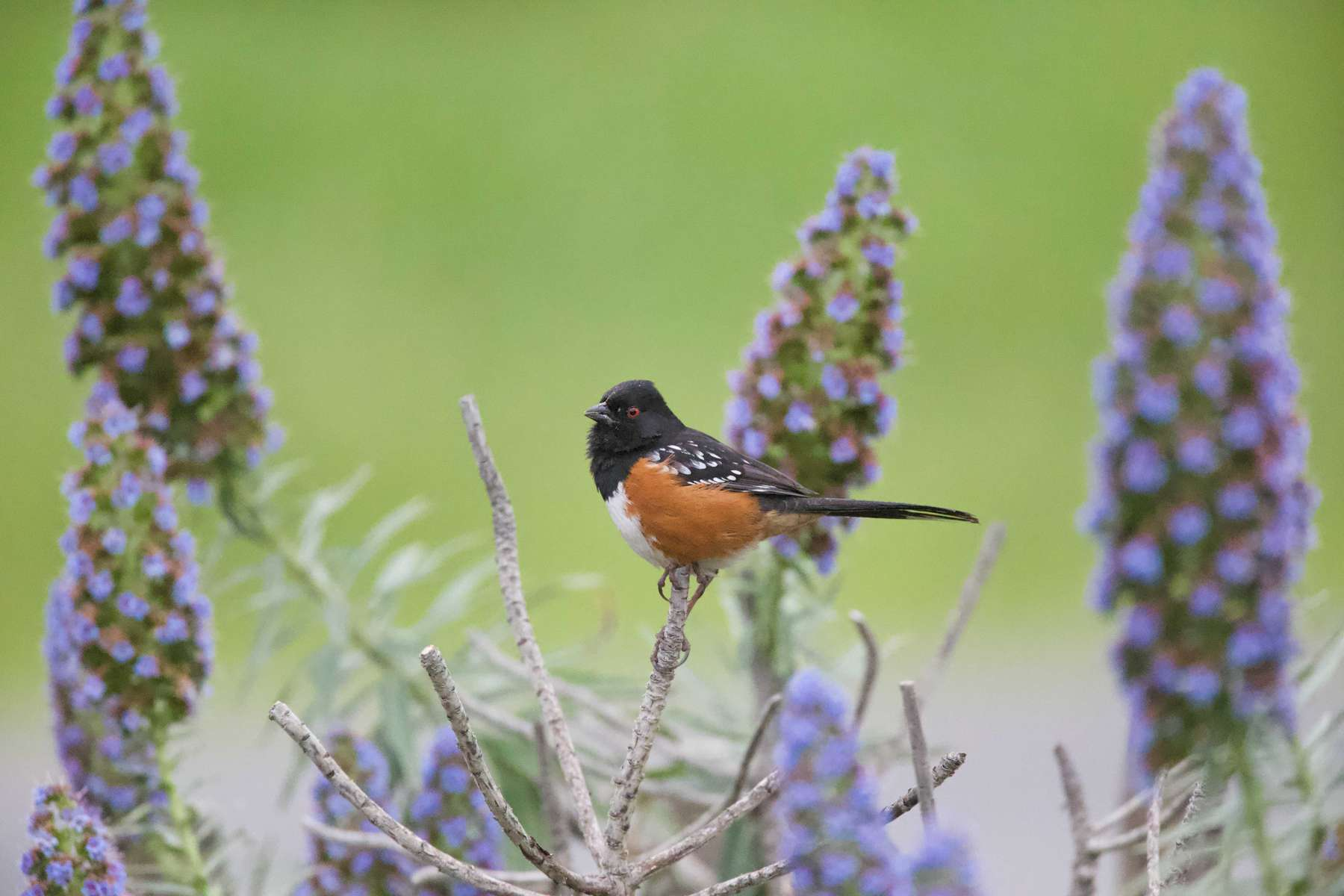 Spotted-Towhee-1