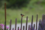 Spotted-Towhee-2