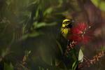 Townsend-s-Warbler-1
