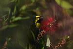 Townsend-s-Warbler