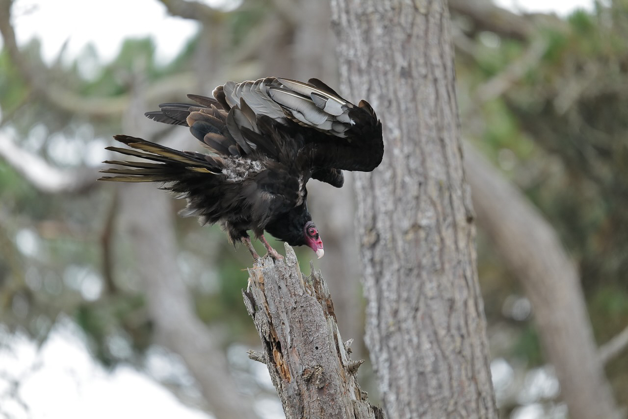 Turkey-Vulture-1