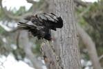 Turkey-Vulture-1