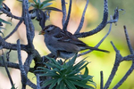 White-Crowned-Sparrow-2