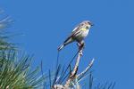 Yellow-Rumped-Warbler-1