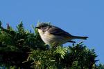Yellow-Rumped-Warbler-Female