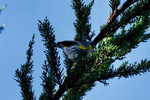 Yellow-Rumped-Warbler-Male