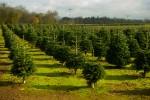 web_christmas_trees_009