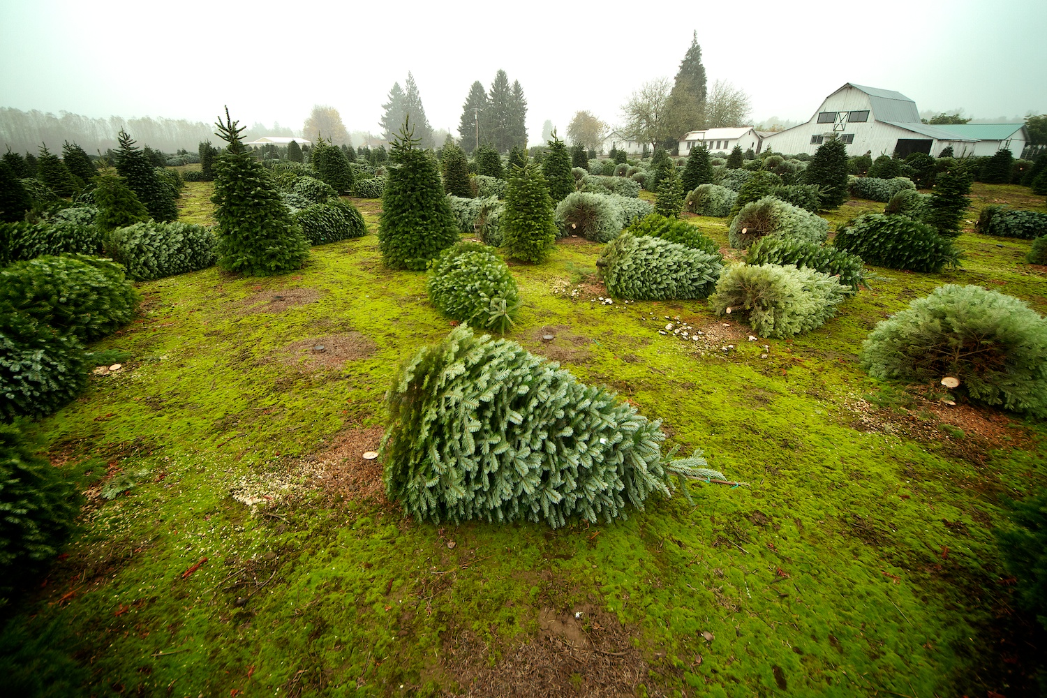 web_christmas_trees_012