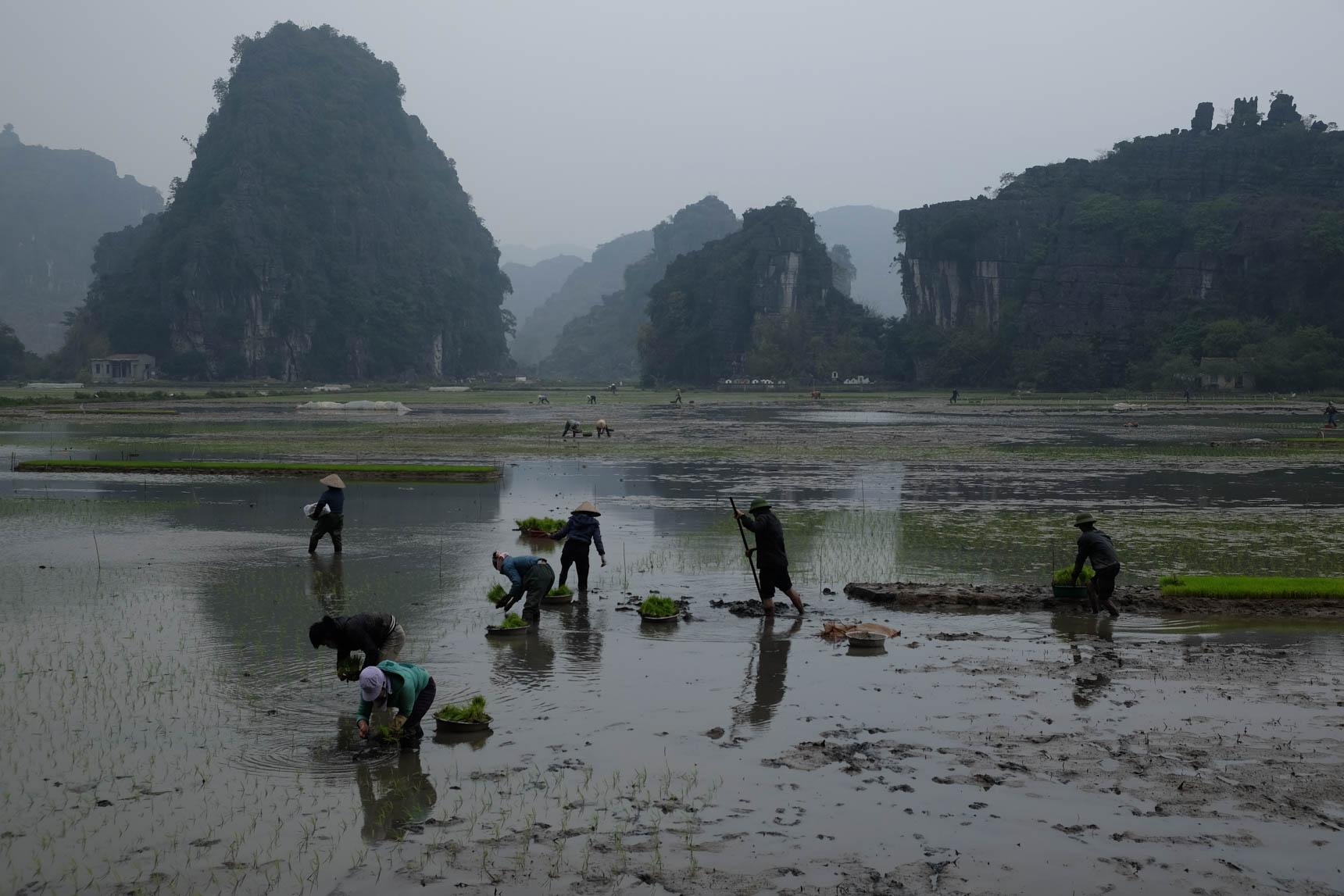Planting Rice near Tam Coc
