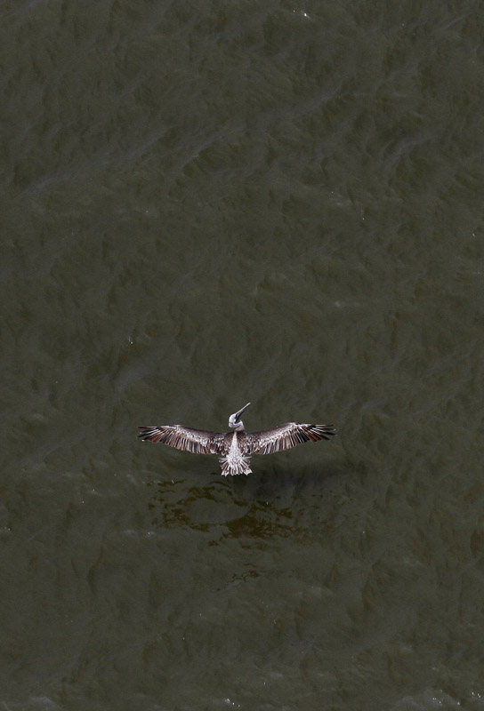 A pelican flies above the Gulf of Mexico near the Louisiana coast.
