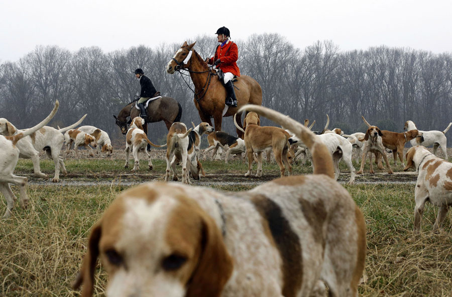 Hounds wander in a field as huntsman Geoff Hyde, top center, and members of the Elkridge-Harford Hunt Club prepare for a fox hunt to begin in Monkton, Md.
