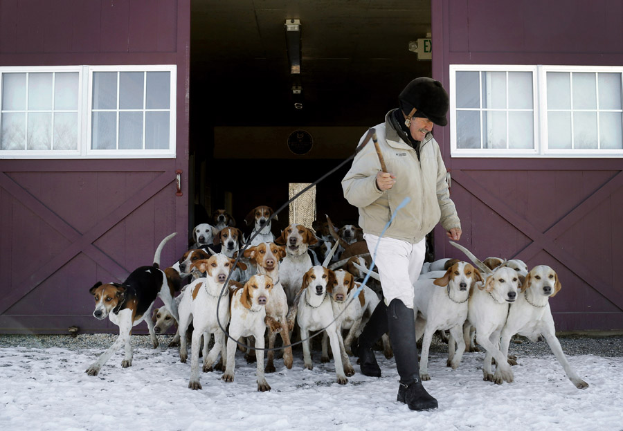 Huntsman Geoff Hyde leads hounds out of their kennel at the Elkridge-Harford Hunt Club as they head out for a fox hunt.