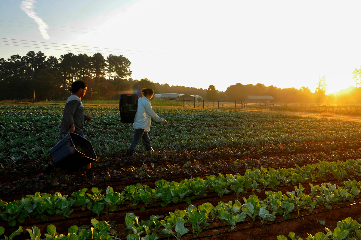 Adam Aldana, left, and Emily Perdue carry crops at Woodland Gardens Organic Farm in Winterville, Ga., Friday, Sept. 20, 2013. (AJ Reynolds/The Athens Banner-Herald)