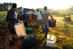 Workers load crops into a truck after picking them from the ground at Woodland Gardens Organic Farm in Winterville, Ga., Friday, Sept. 20, 2013. (AJ Reynolds/The Athens Banner-Herald)