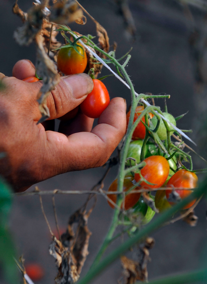 Martin Lima picks a cherry tomato off a vine at Woodland Gardens Organic Farm in Winterville, Ga., Friday, Sept. 20, 2013. (AJ Reynolds/The Athens Banner-Herald)