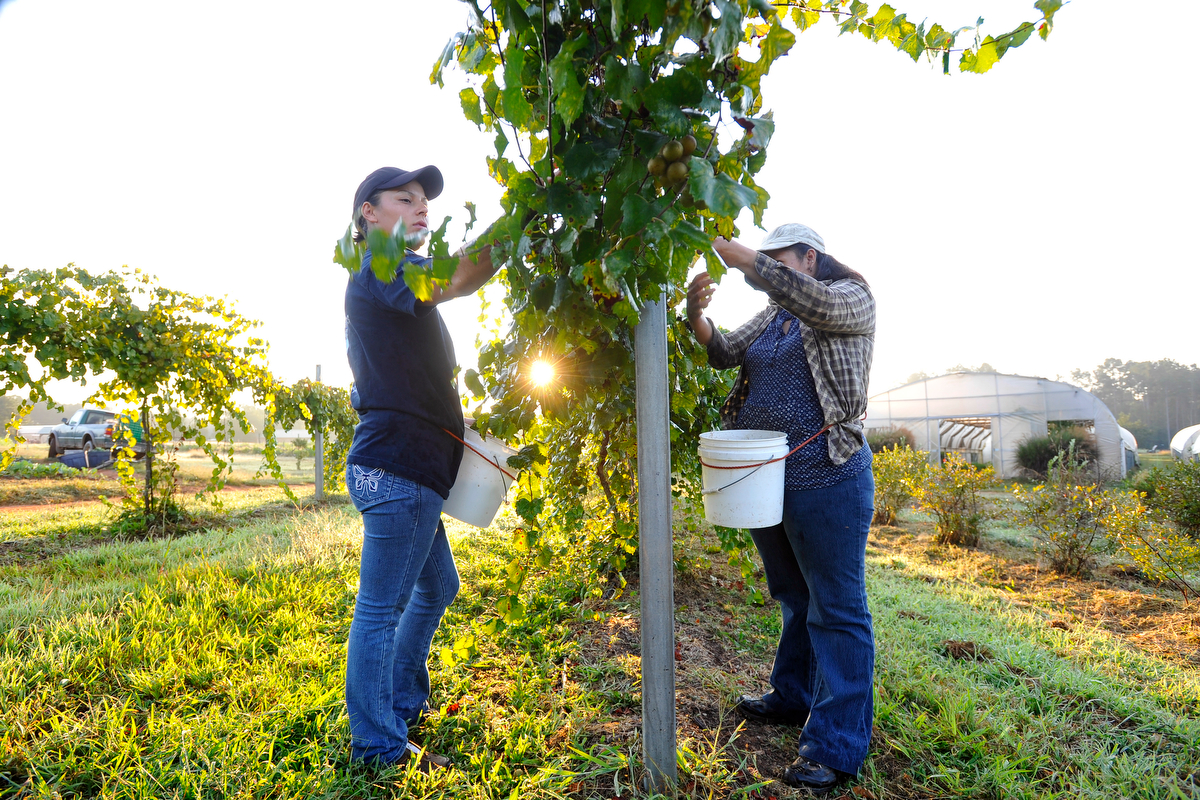 Flor Hernandez, left, and Yenny Resino pick muscadine grapes from a vine at Woodland Gardens Organic Farm in Winterville, Ga., Friday, Sept. 20, 2013. (AJ Reynolds/The Athens Banner-Herald)
